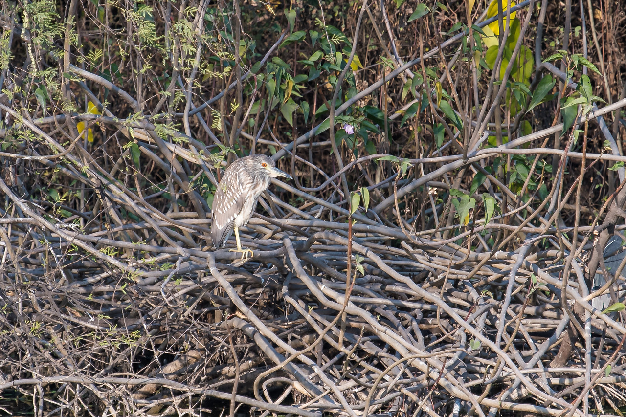Black-crowned Night Heron (juv)