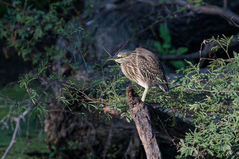 Striated Heron (juv)