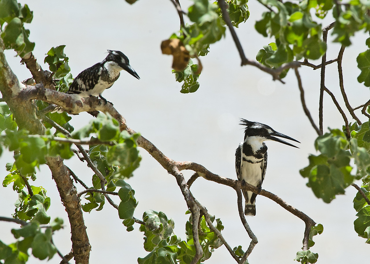 Pied Kingfisher (f)
