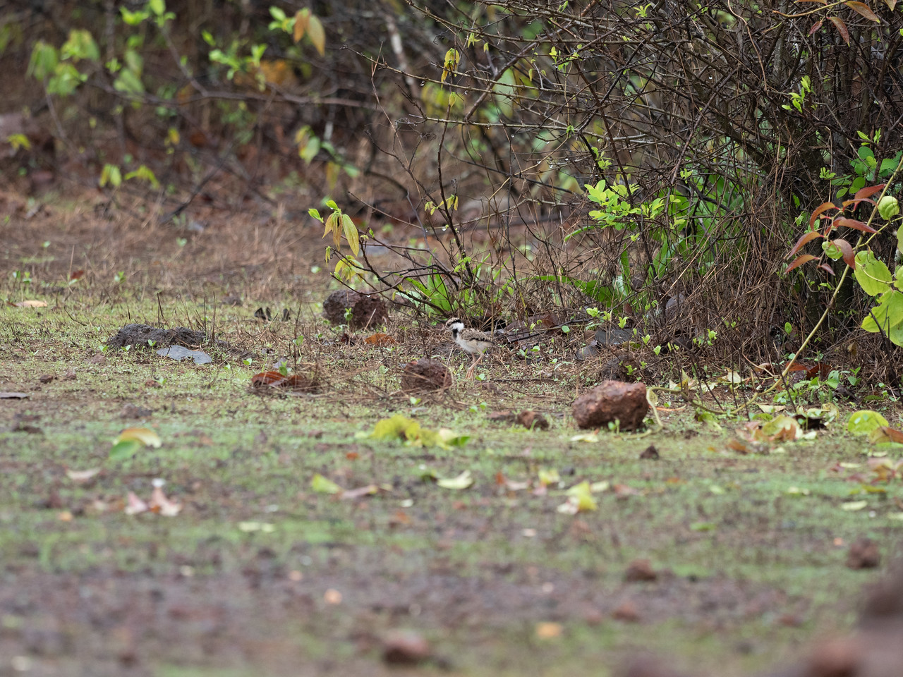 Red-wattled Lapwing (chick)