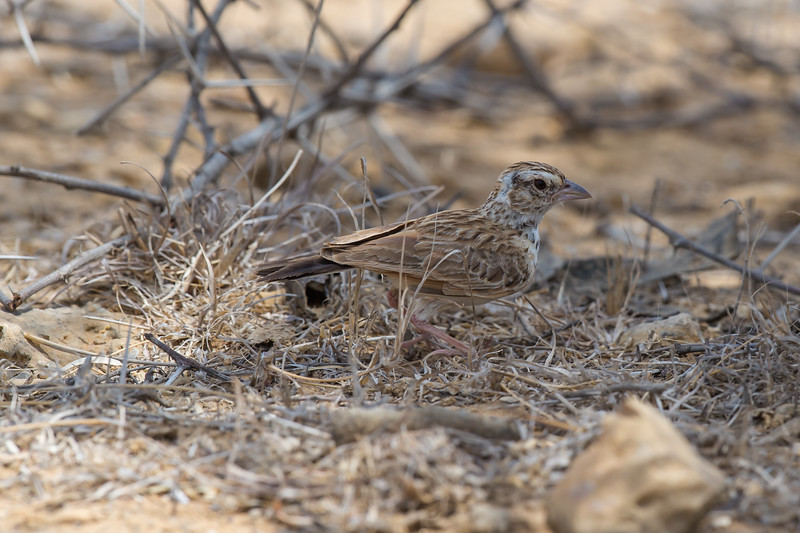 Indian Bushlark