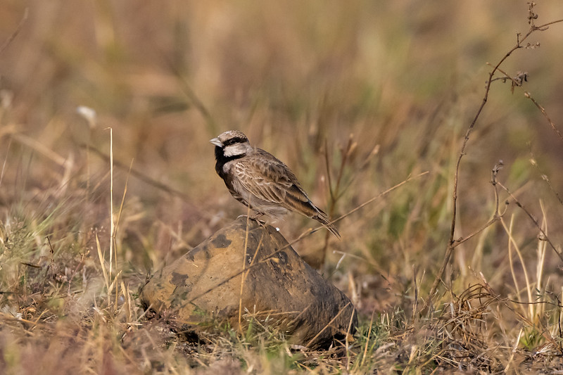 Ashy-crowned Sparrowlark