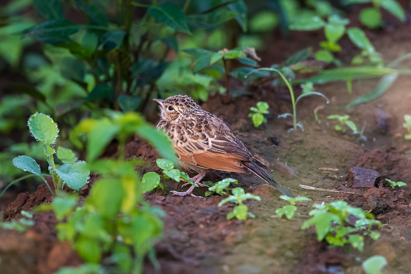 Indian Bushlark (mirafra erythroptera)