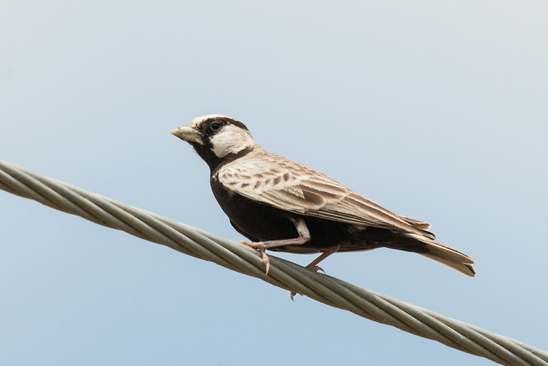 Ashy-crowned Sparrow- Lark (m)