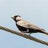 Ashy-crowned Sparrow Lark (m)