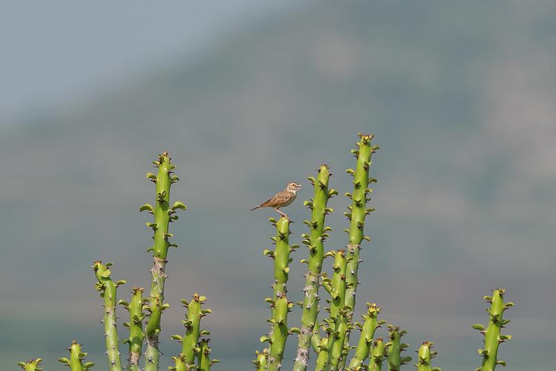 Singing Bushlark