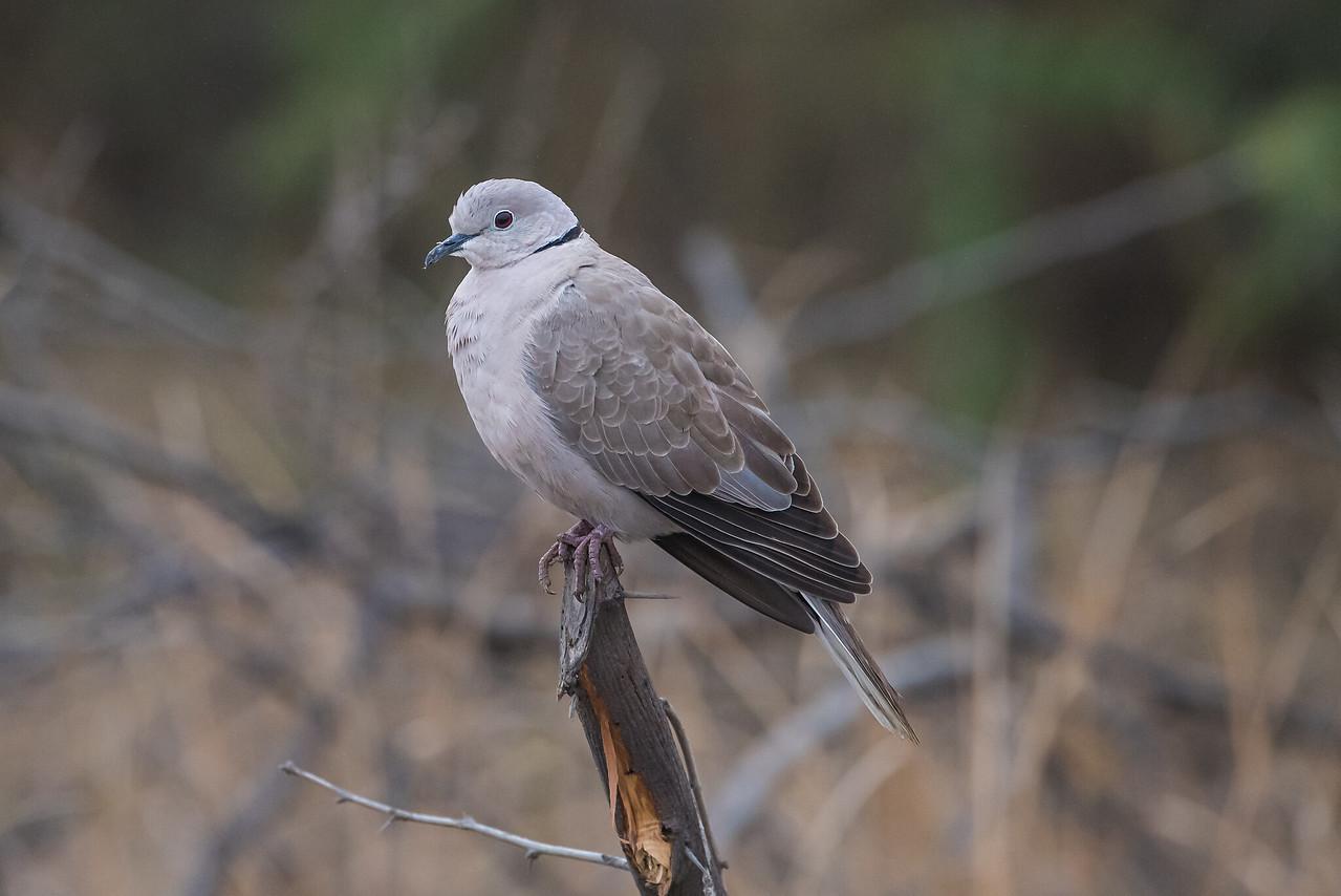 Erasian Collared Dove
