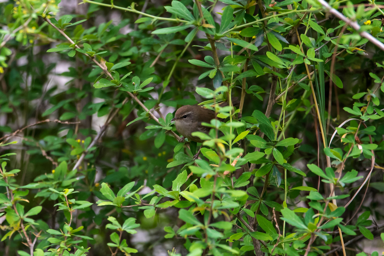 Brown-flanked Bush Warbler (Cetti fortipes)