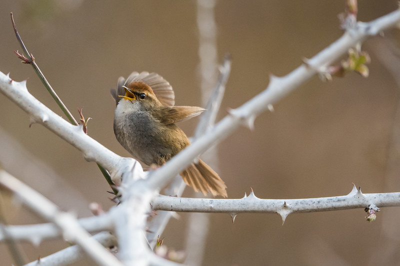 Grey-sided Bush Warbler (Cettia brunnifrons)