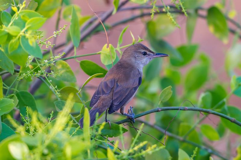 Clamorous Reed Warbler, Indian Reed Warbler
