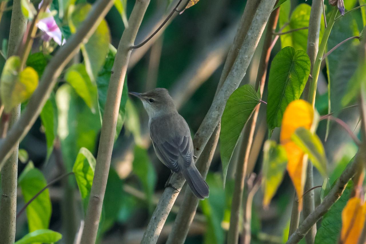 Blyth's Warbler (Acrocephalus)