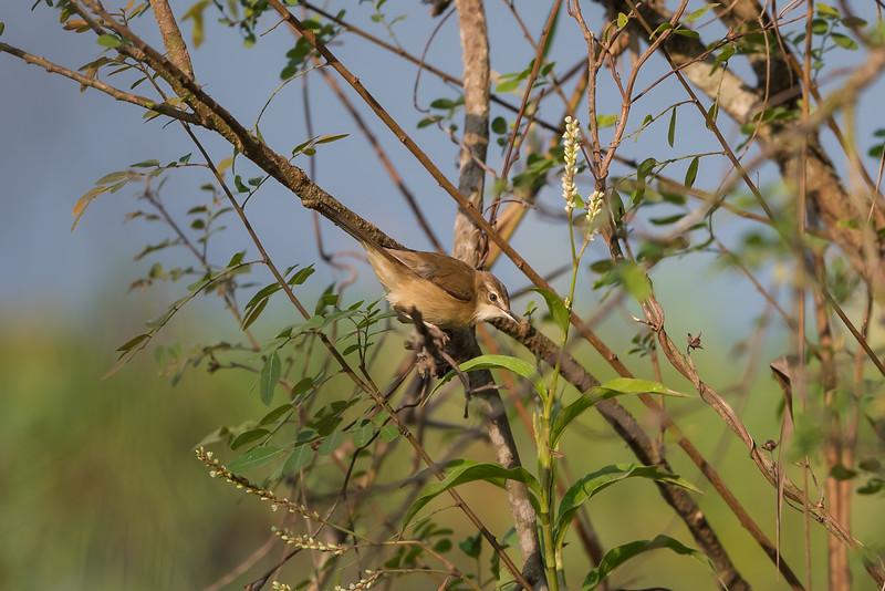 Paddyfiled Warbler