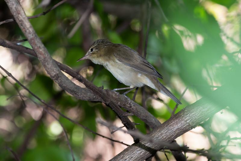 Blyth's Warbler (Acrocephalus dumetorum)