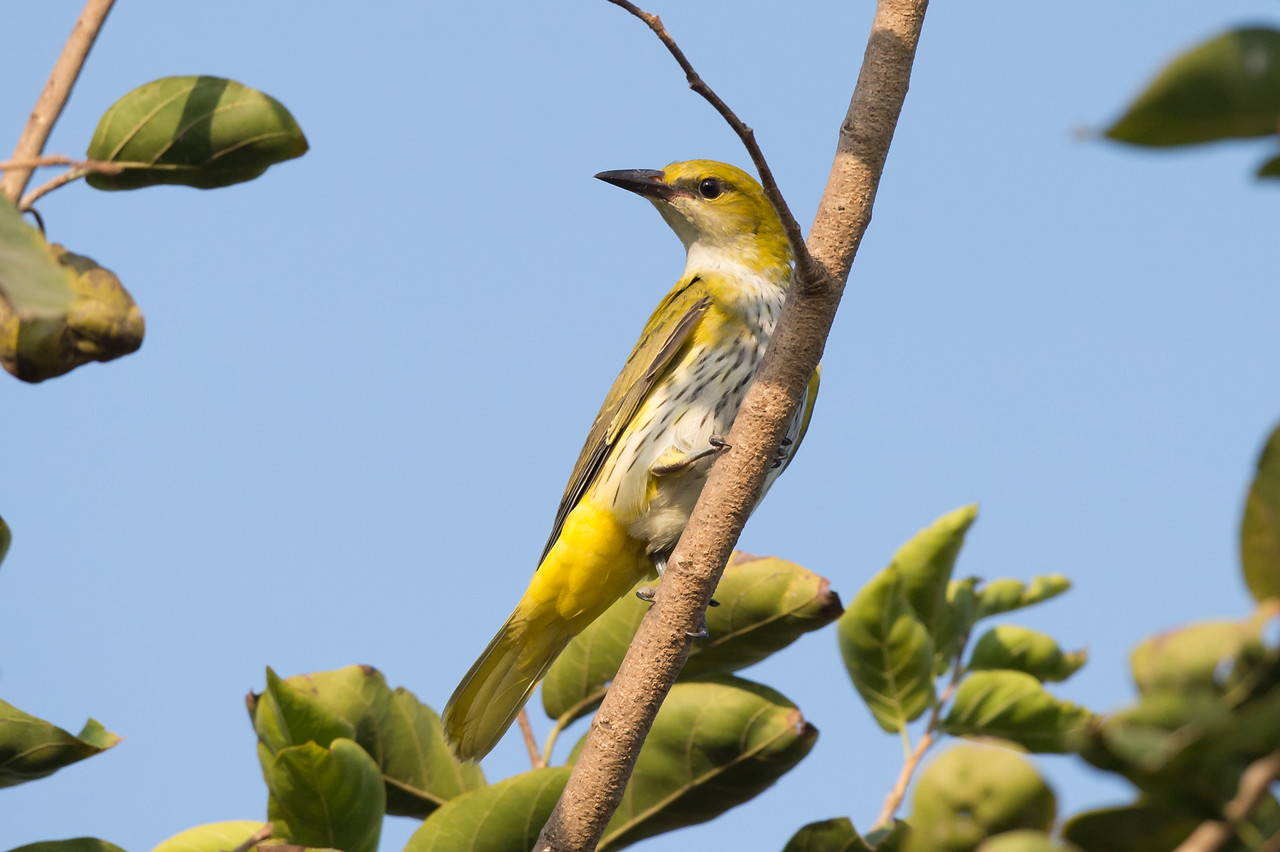 Indian Golden Oriole (juv)