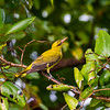 Indian Golden Oriole (f)