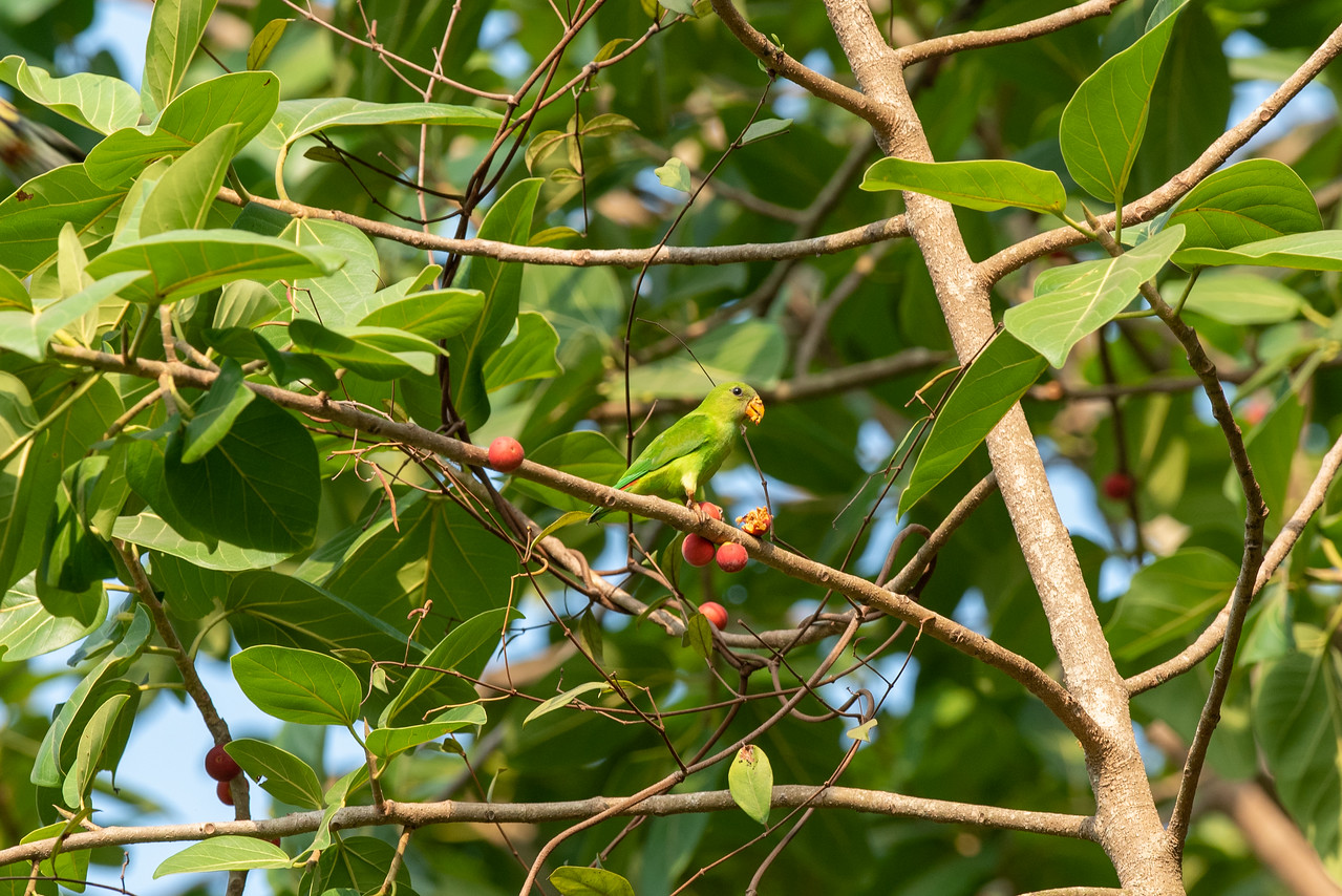 Vernal Hanging Parrot (imm)