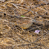 Barred Buttonquail (m)
