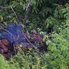 Jungle Bush Quail
