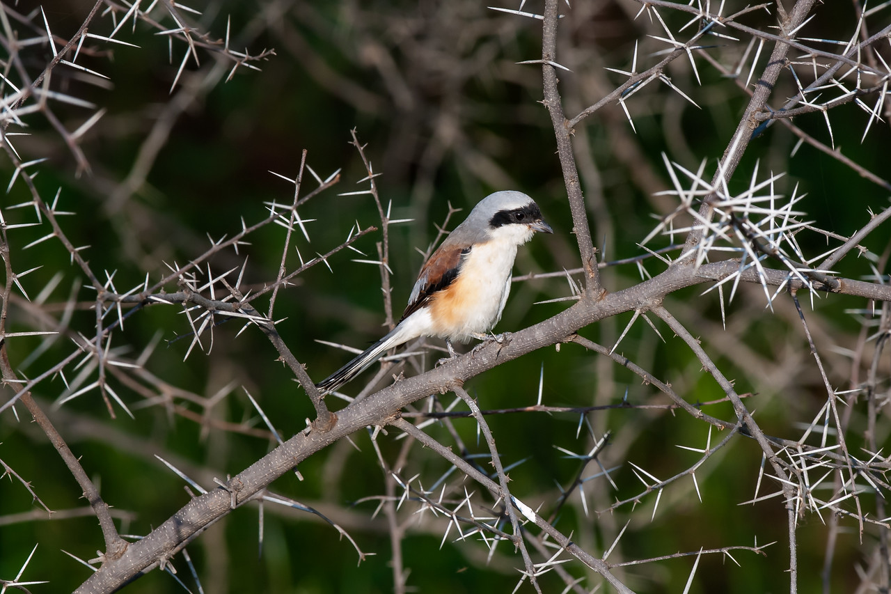 Bay-backed Shrike
