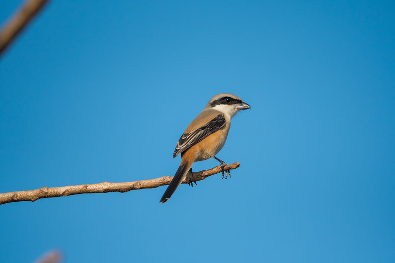 Long-tailed Shrike (Rufous backed)