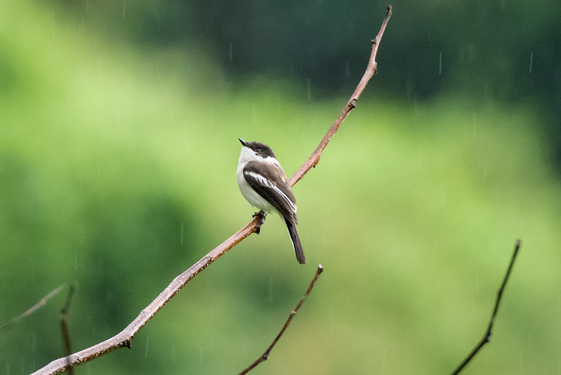 Bar-winged Flycatcher Shrike (Hemipus picatus)