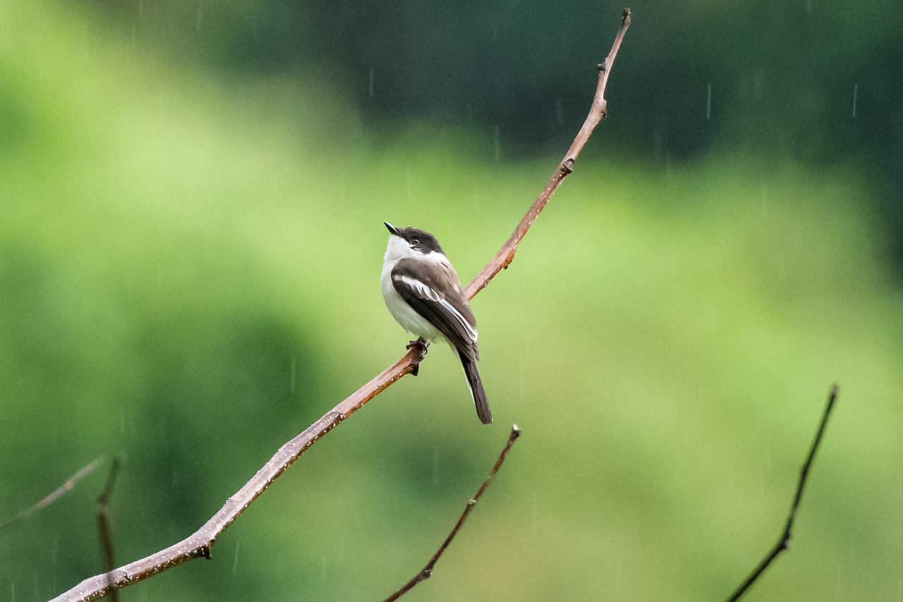 Bar-winged Flycatcher Shrike (Hemipus picatus)