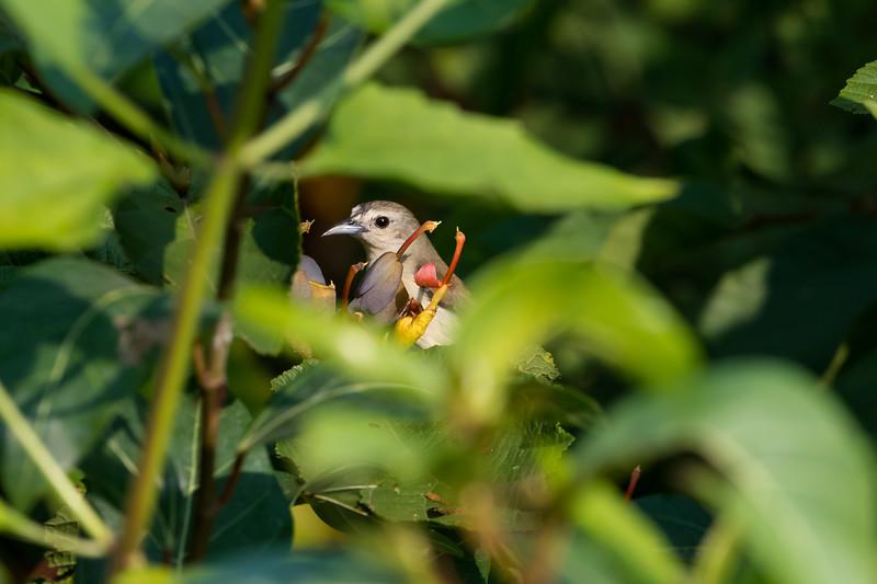 Niligiri Flowerpecker