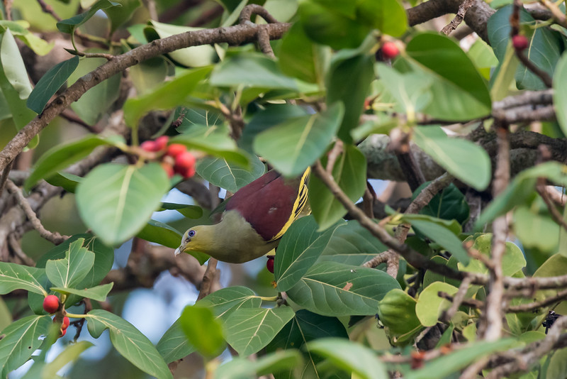Gray-fronted Green Pigeon
