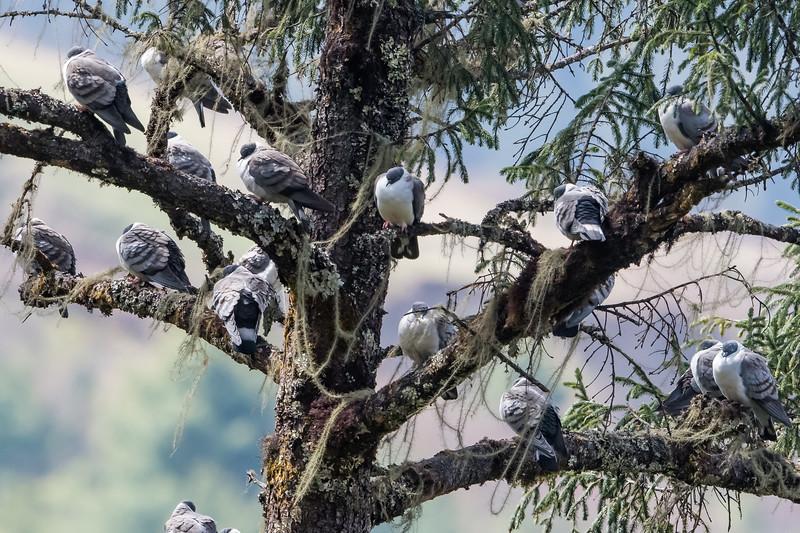 Snow Pigeon (Columba leuconota)