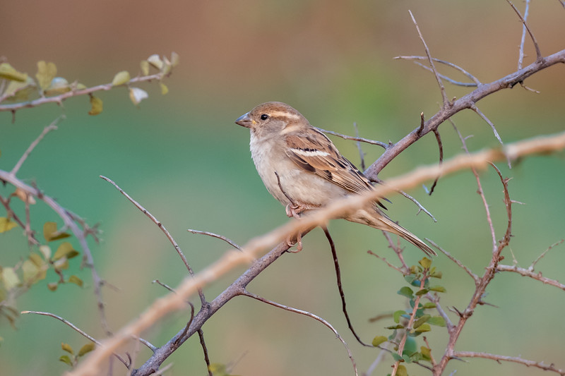 House Sparrow (f) (Passer domesticus)