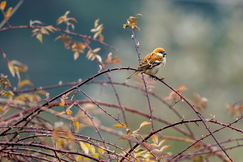 Russet or Cinnamon-headed Sparrow