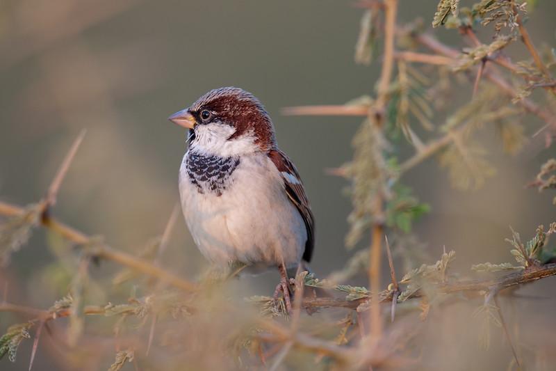 House Sparrow (parkini) N Afganistan