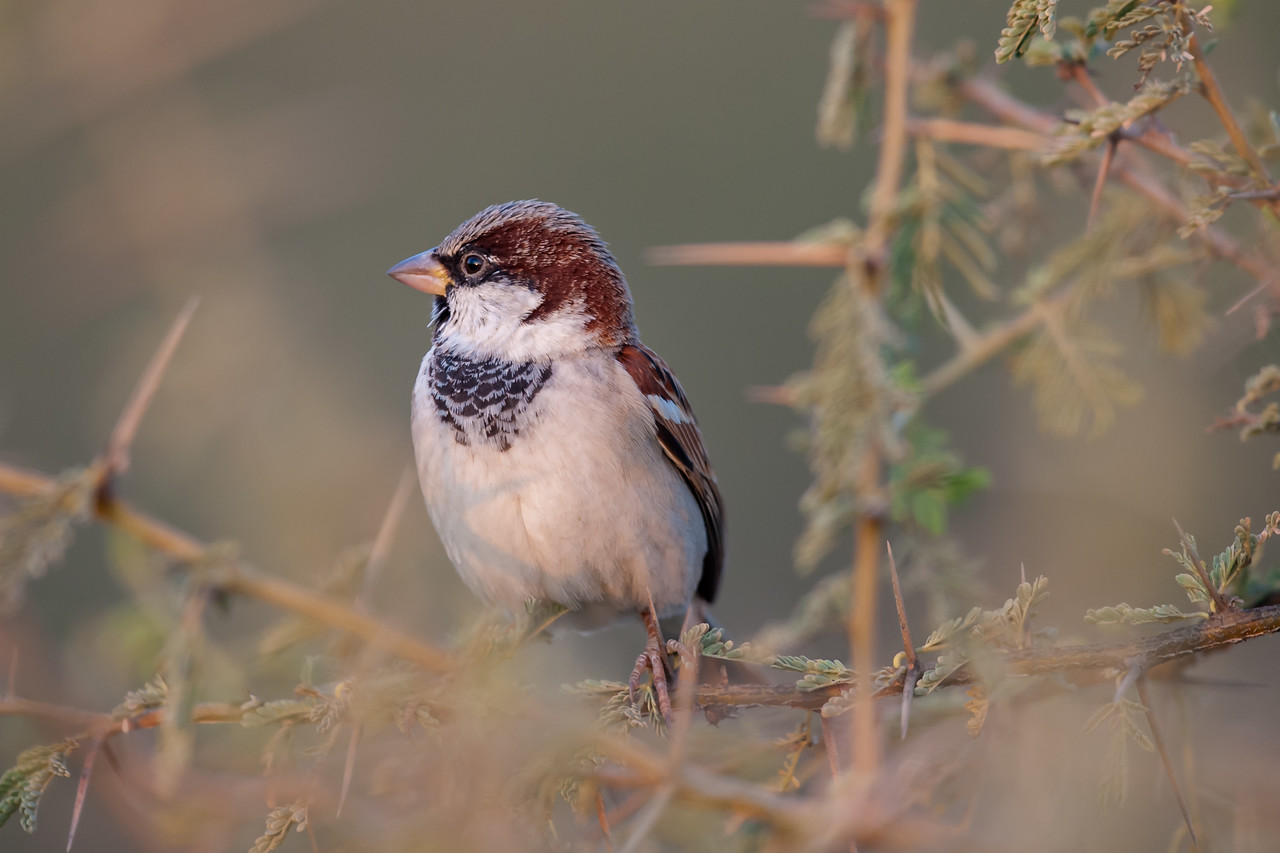 House Sparrow (parkini) N Afganistan