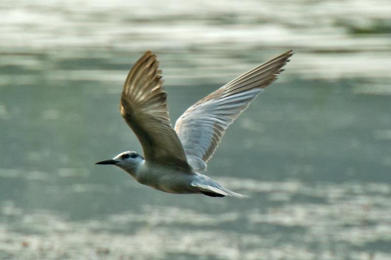 Little Tern (nbr)