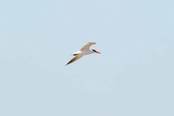 Caspian Tern (br)