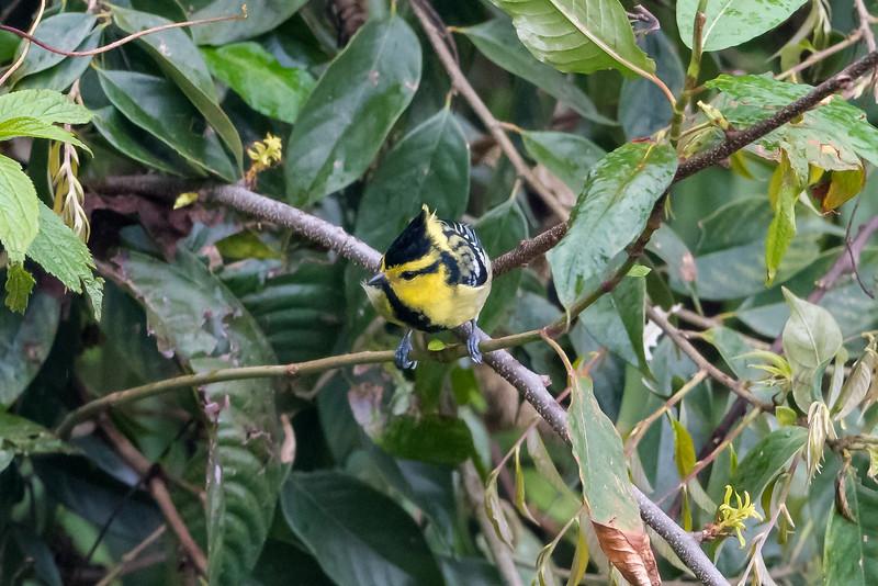 Yellow-cheeked Tit (Parus spilonotus)