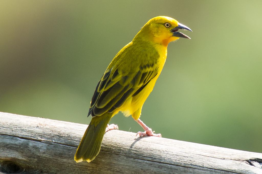 Spectacled Weaver (f)