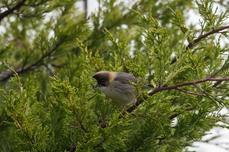Whiskered Yuhina (Yuhina flavicolis)