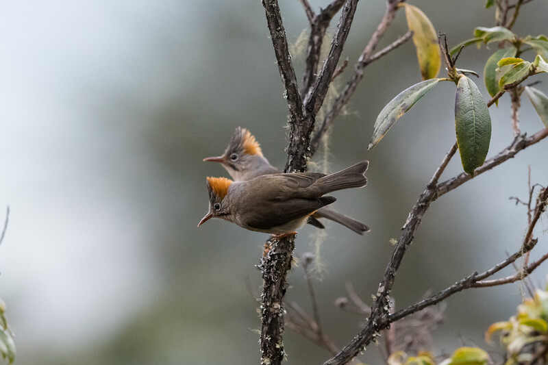 Rufous-vented Yuhina (Yuhina occipitalis)