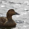 Common Eider (adult female)