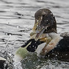 Common Eiders - Adult and juvenile males