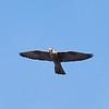 Peregrine Falcon (juvenile)