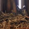 Great Horned Owl (female on nest in barn)