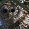 Barred Owl.