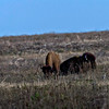 Two of Bison introduced by the Park Service into Attwater Wildlife Refuge.