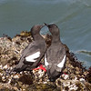 Pigeon Guillemots, Pigeon Point Lighthouse, 17-May-2013