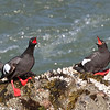 Pigeon Guillemots engaged in some sort of pair bonding behavior, at Pigeon Point Lighthouse, 17-May-2013