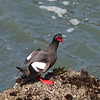 Pigeon Guillemot, Pigeon Point Lighthouse, 17-May-2013
