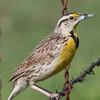 Male Eastern Meadowlark (Lillian's Race) at Sonoita Rest Stop