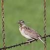 Female Eastern Meadowlark (Lillian's Race) at Sonoita Rest Stop